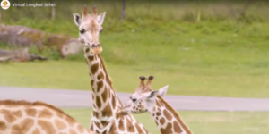 Longleat Virtual Safari